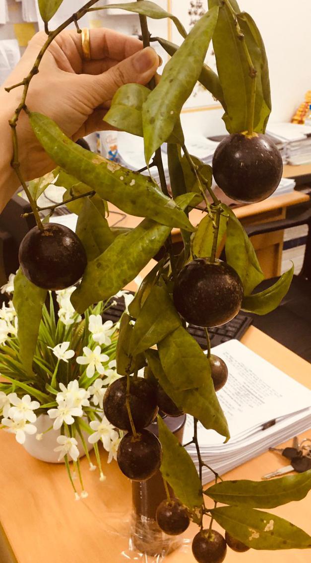 Những điều cần biết về quả Hồng châu và cách xử trí khi bị ngộ độc